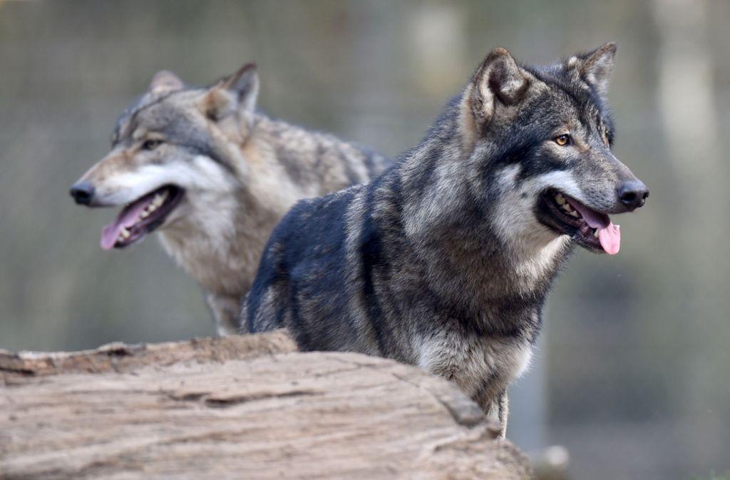 Wölfe könnten hinter dem Angriff auf die Schafherde stecken (Archivbild). Foto: dpa