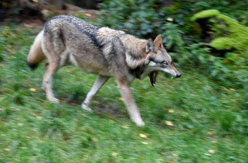 Wolf gesichtet – Nutztierhalter um erhöhte Aufmerksamkeit gebeten