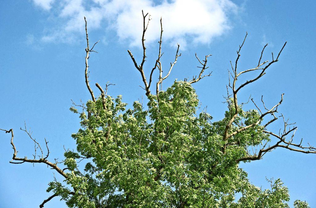 Buschige Kronen und  abgestorbene Äste gehören zum Krankheitsbild des durch das Falsche Weiße Stängelbecherchen ausgelösten Eschentriebsterbens. Foto: dpa