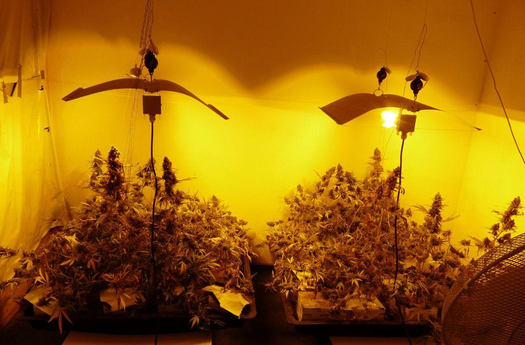 Die Polizisten fanden diese Plantage im Keller. Foto: Polizeipräsidiums Aalen
