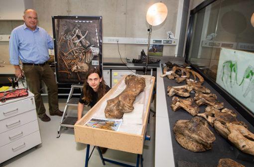 Skelett eines 300 000 Jahre alten Elefanten freigelegt