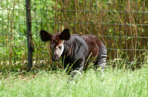 Seltener Okapi-Nachwuchs verzückt die Besucher