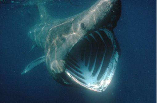 Acht Meter großer Riesenhai in der Nordsee gesichtet