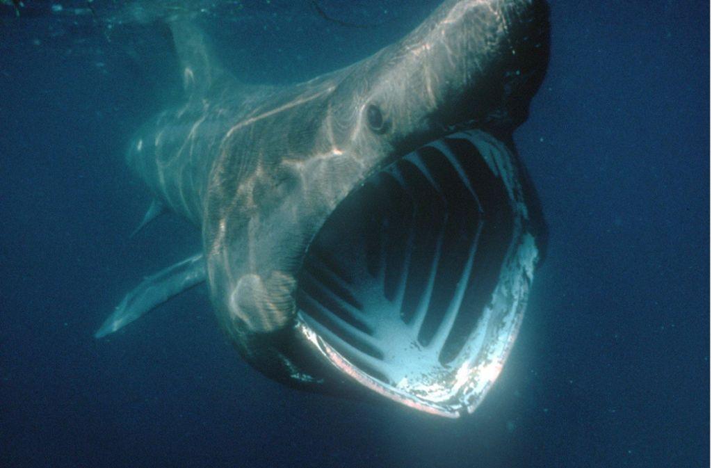 Die gefährdeten Haie werden bis zu neun Meter lang und sind für Menschen ungefährlich. Foto: Ndr/Bbc