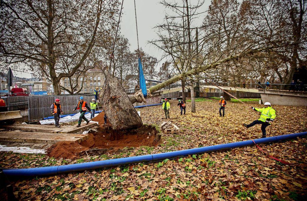 Eine der beiden neuen Platanen wird am Rande des Mittleren Schlossgartens gepflanzt. Es dauert aber noch etwa 20 Jahre, bis  sich Juchtenkäfer darin heimisch fühlen. Foto: Lg/ Piechowski