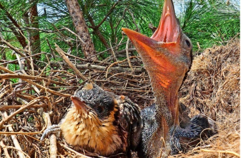 Ein Häherkuckuck hat den Aaskrähen ein Ei ins Nest gelegt. Nun sitzen Kuckuck-  (links) und Aaskrähenküken (rechts) nebeneinander. Foto: Universität Valladolid