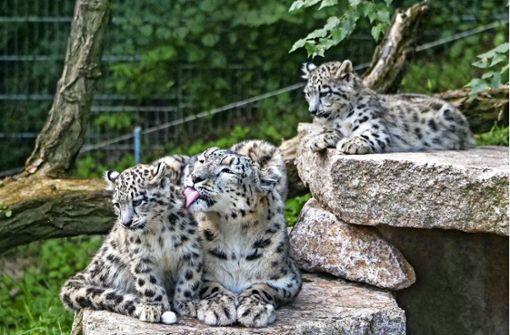 Die Schneeleoparden-Familie ist wieder vereint