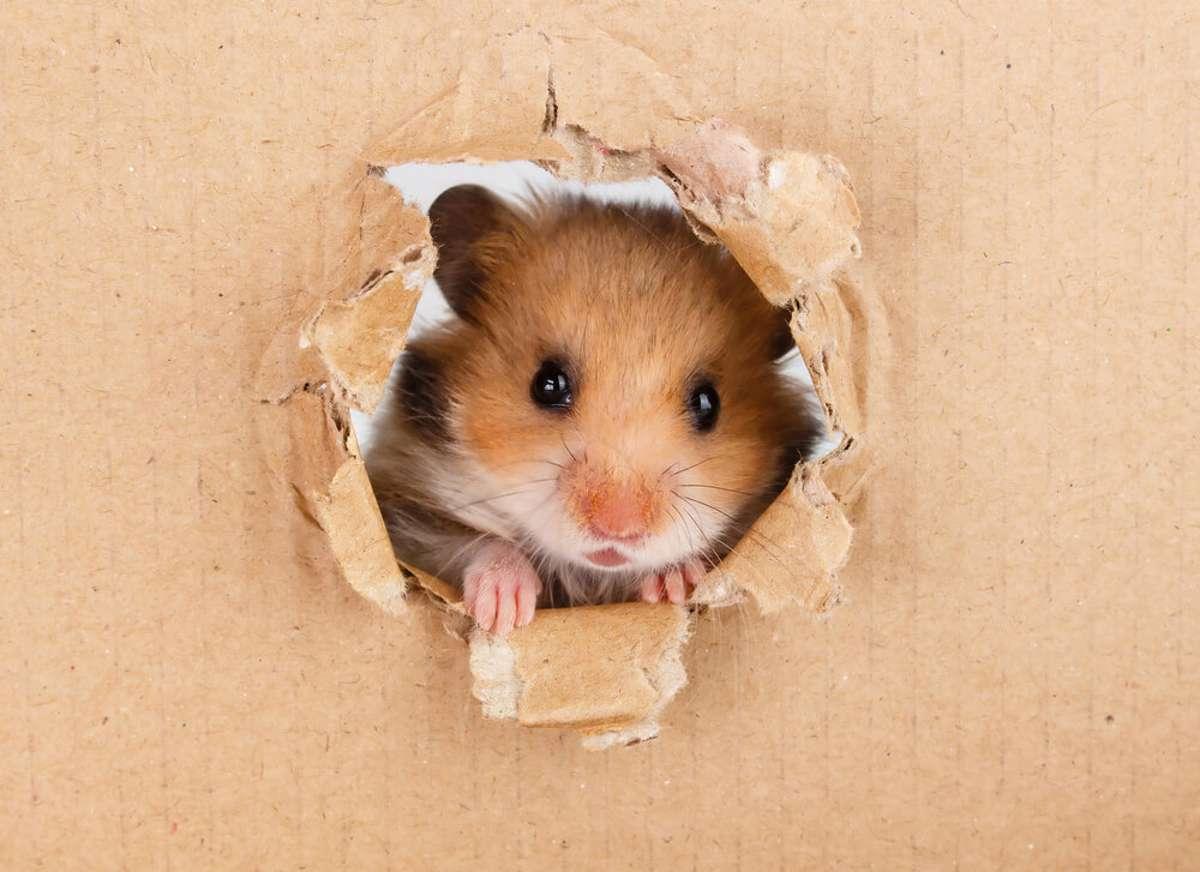 Was haben Hamster mit TikTok zu tun? Foto: Ilyashenko Oleksiy / shutterstock.com