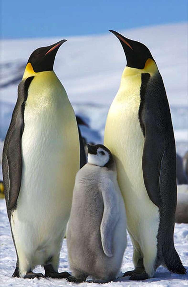 540 Meter: Der Kaiserpinguin (Aptenodytes forsteri) ist die größte Art aus der Familie der Pinguine. Er kann  bis zu 540 Meter tief tauchen. Foto: Wikipedia commons/ Ian Duffy/CC BY 2.0