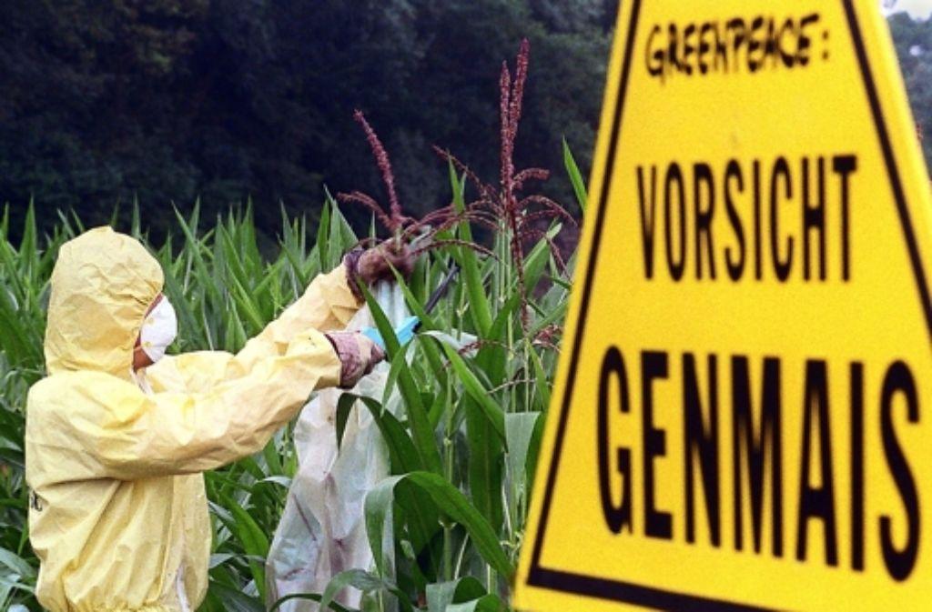 Umstritten: wie sind die Risiken von Genmais zu bewerten? Foto: dpa