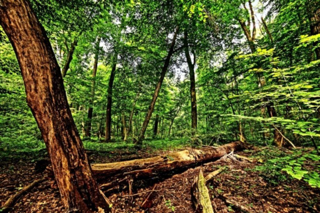 Teile des Naturschutzgebietes Greutterwald sind Refugien, in denen die Bäume sich selbst überlassen werden. Foto: Archiv Heinz Heiss