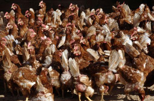 Lastwagen-Unfall mit 8000 Hühnern –  Fahrer verletzt