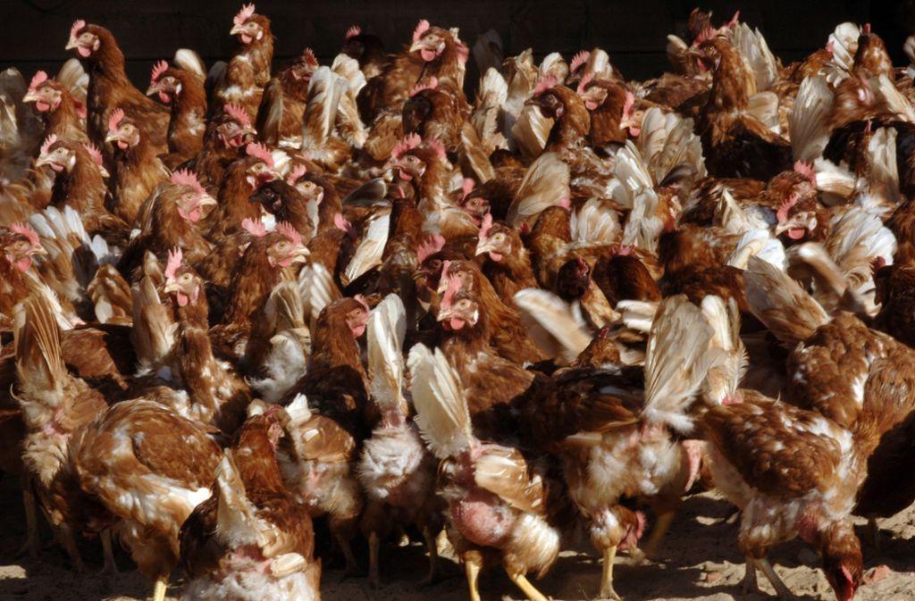Der Lastwagen war mit etwa 8000 Hühnern auf dem Weg zum Schlachter (Symbolbild). Foto: dpa/Holger Hollemann