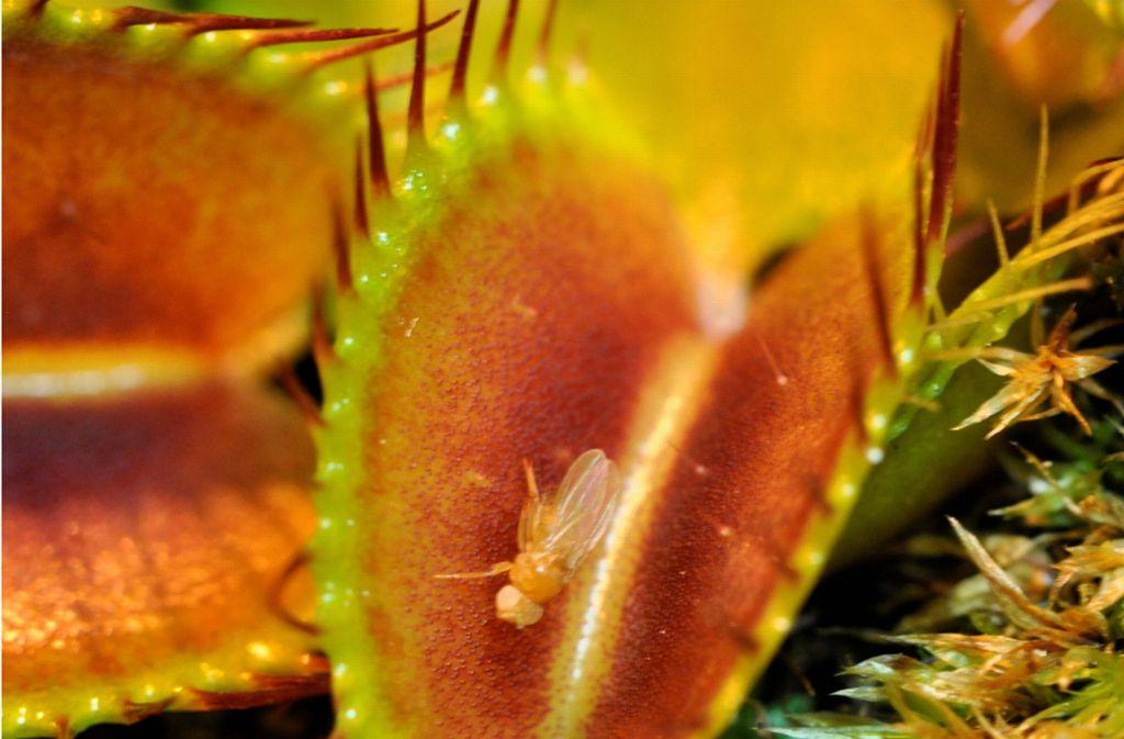 Am beliebtesten für das Eigenheim ist die Venusfliegenfalle, sie bewegt sich aktiv und wird als typische Insektenfalle gesehen. Foto: dpa