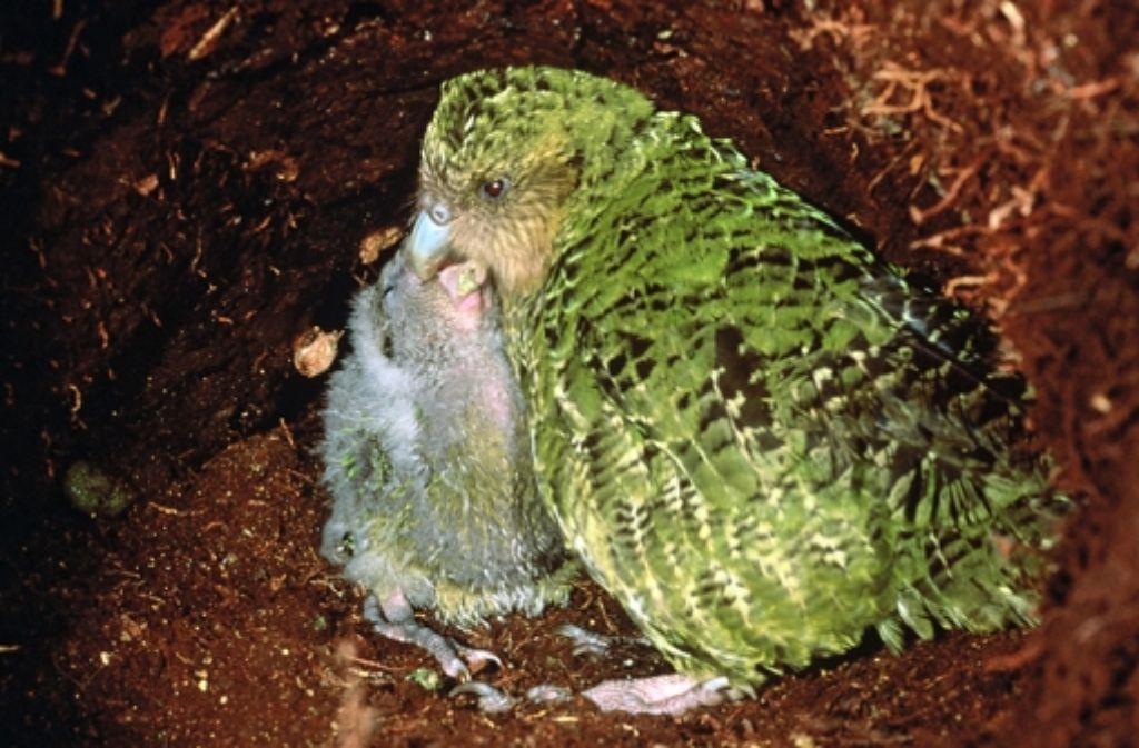 Ein Archivbild: ein moosgrünes Kakapo-Weibchen füttert seinen Nachwuchs. Foto: dpa/Umweltministerium Neuseeland