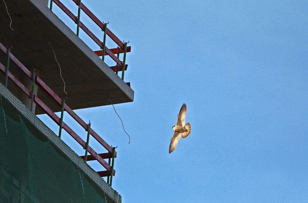 Mit einem Flugtempo von bis zu 320 sind sie  die schnellsten Tiere des Planeten: Die Wanderfalken fühlen sich sichtlich wohl am Schwabenlandtower. Foto: Michael Eick