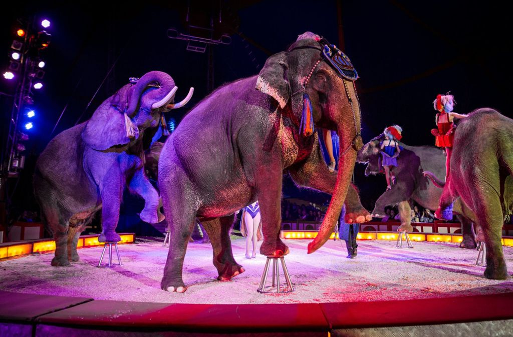Im Oktober 2017 gastierte der Circus Krone auf dem Cannstatter Wasen in Stuttgart. Dort waren auch Wildtiere Teil der Vorstellung. Foto: dpa/Christoph Schmidt