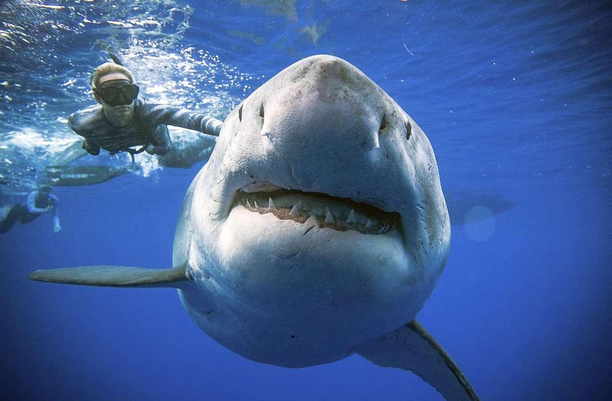 Nicht provozierte Angriffe sind meistens auf eine Verwechslung seitens der Haie zurückzuführen. (Symbolbild) Foto: dpa/Juan Oliphant