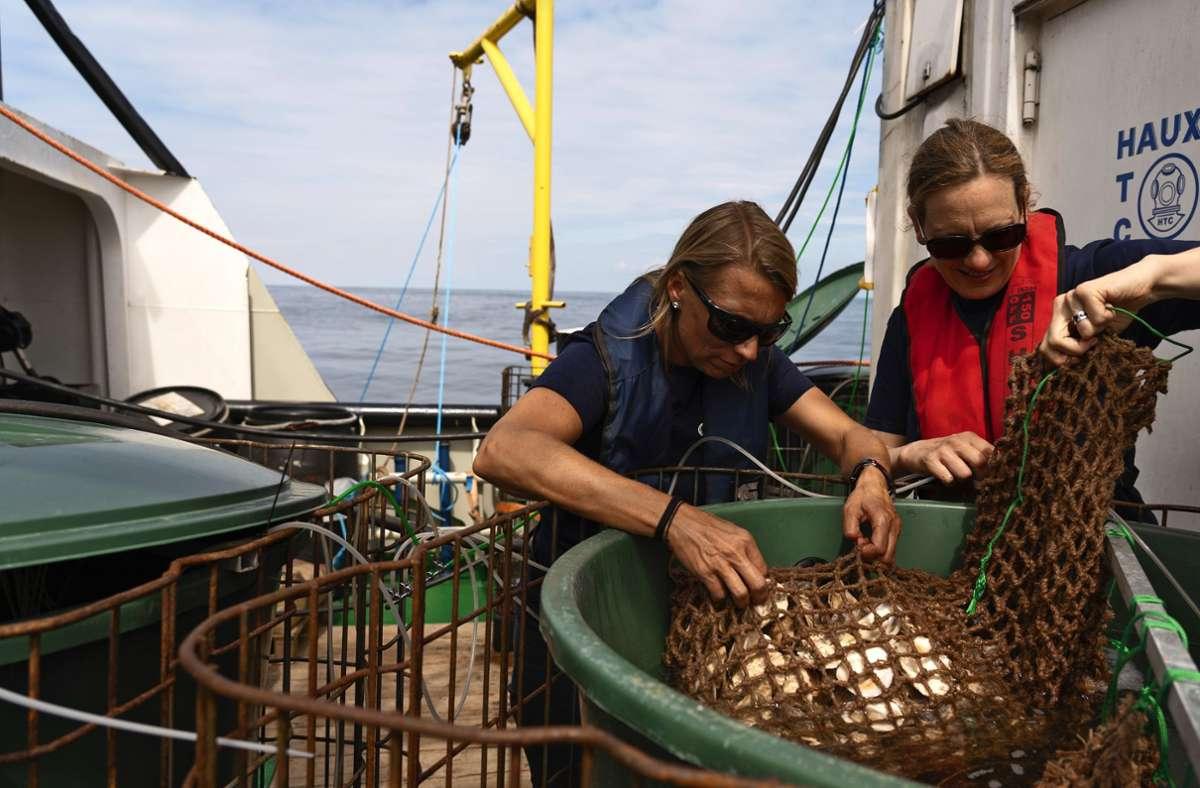 Die Forscherinnen Bernadette Pogoda und Tanja Hausen bereiten die auf Austernschalen angesiedelten Austern  in Jutenetzen  zum Aussetzen im Wasser vor. Foto: Kubikfoto