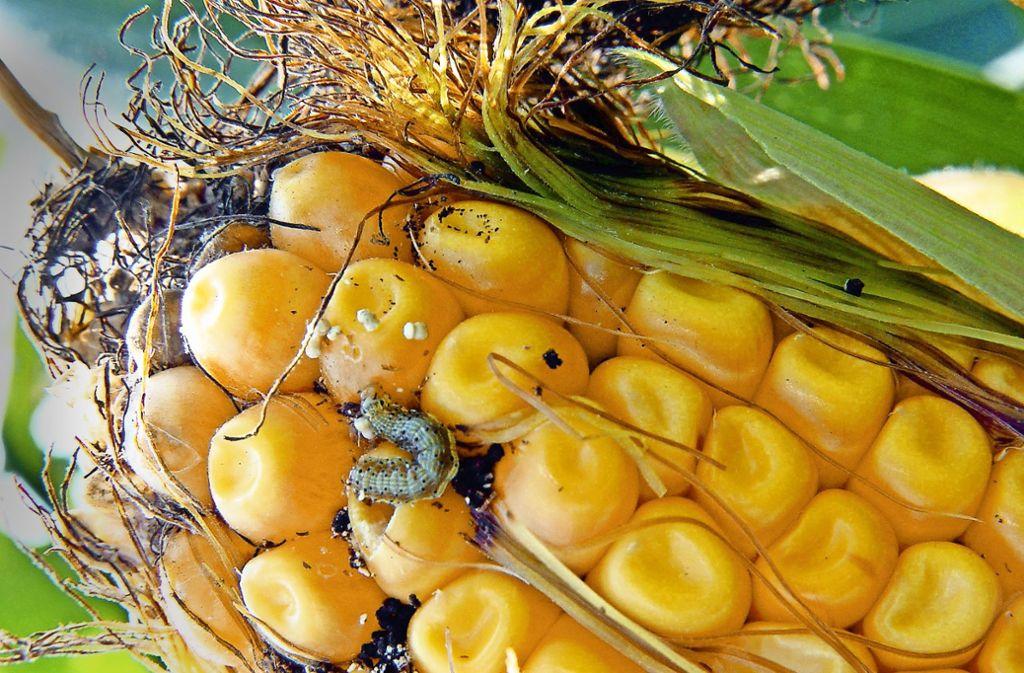 Eine gefräßige Larve des Maiszünslers. Foto: KWS