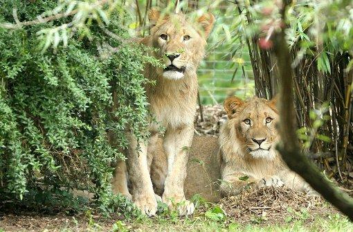 Für einen Löwen endet Ausflug tödlich