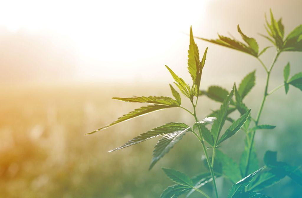 Bei der Forschung geht es um das phytocannabinoidreiche Cannabis, dessen Sorten sich nicht als Rauschmittel eignen. (Symbolfoto) Foto: isavira - stock.adobe.com