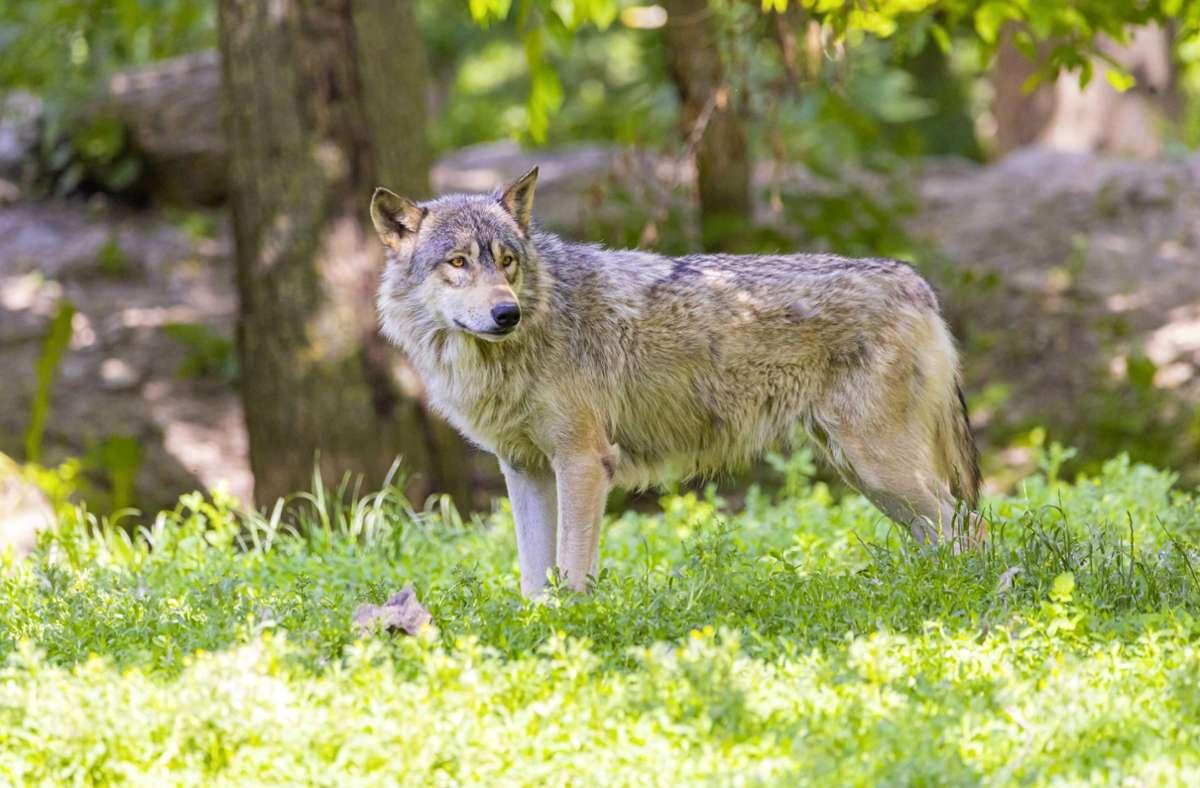 Ein Wolf hat im Schwarzwald Schafe und Ziegen gerissen (Symbolbild). Foto: imago images / Arnulf Hettrich/Arnulf Hettrich