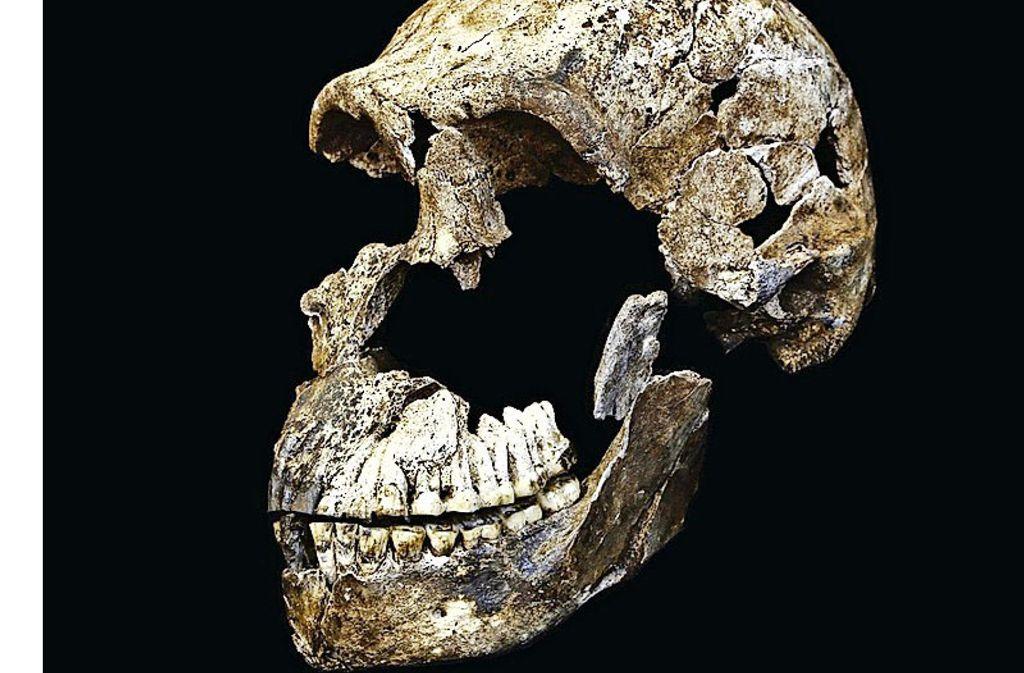 Der Schädel des Homo naledi ist erstaunlich gut erhalten. Foto: Wits University, John Hawks