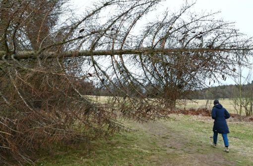 Umgestürzte Bäume, Münstertalbahn ausgebremst
