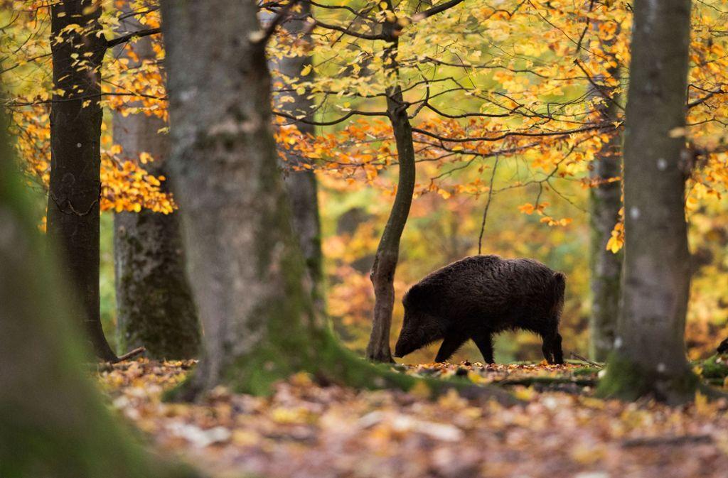 Immer wieder  kommt es zu Wildunfällen mit Zügen, wenn beispielsweise Wildschweine über Bahngleise laufen.  (Symbolbild) Foto: dpa/Lino Mirgeler