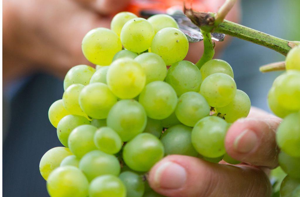 Rewe ruft helle Weintrauben zurück. (Symbolfoto) Foto: dpa/Uwe Anspach