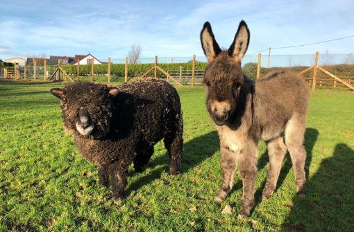 Schafe adoptieren kleinen Esel