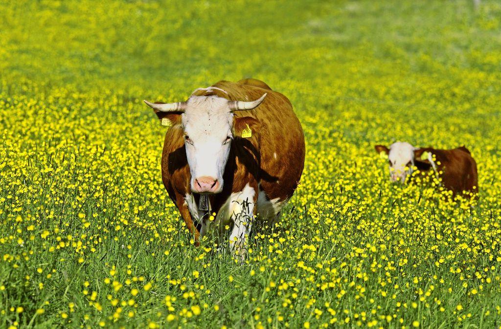 Glückliche Tiere: bei den Biobauern im Land leben die Kühe auf der Weide und auch im Stall artgerecht. Foto: blickwinkel