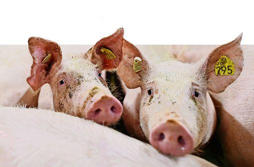 Arme Bauern, arme Schweine