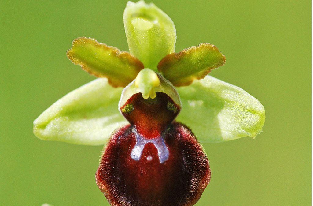 Rund 3000 der wild wachsenden, streng geschützten Orchideen wurden im Naturschutzgebiet ausgegraben und mitgenommen. Foto: dpa