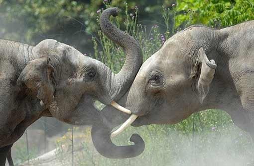 Elefanten raufen sich zusammen