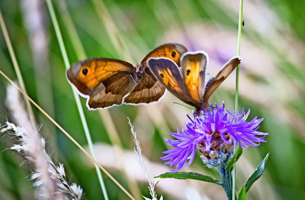 Wer Kornblumen auf den Weizenfeldern wachsen lässt, der  schafft auch Lebensraum für Insekten. Foto: dpa