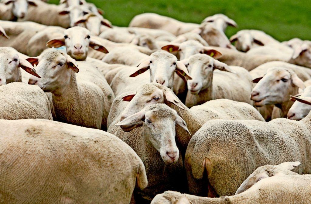 In den meisten Fällen werden die Erkrankungen am   Q-Fieber durch infizierte Schafe verursacht. Foto: Christian  Hass