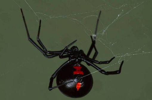 Giftige Spinnen in Gartenmöbeln entdeckt