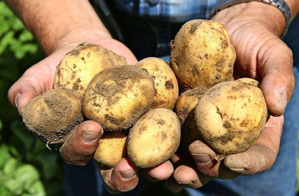 Kartoffeln mögen Temperaturen zwischen 16 und 27 Grad. Die vergangenen Sommer waren deutlich wärmer. Was tun? Foto: dpa/Bernd Wüstneck