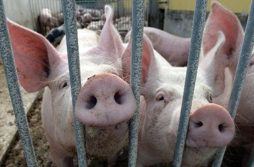 Veterinäramt lässt 160 vernachlässigte Schweine töten