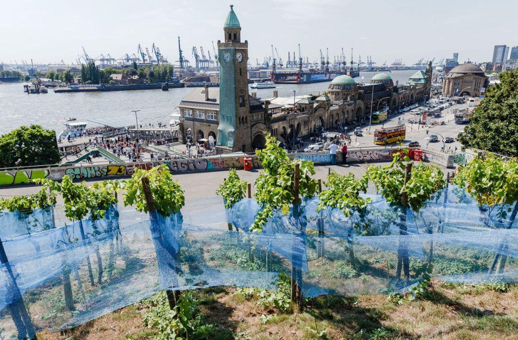 Die blauen Netzer sollten die Trauben auf dem Weinberg in Hamburg vor Vögeln und Dieben schützen. Geholfen hat es nichts. Foto: dpa