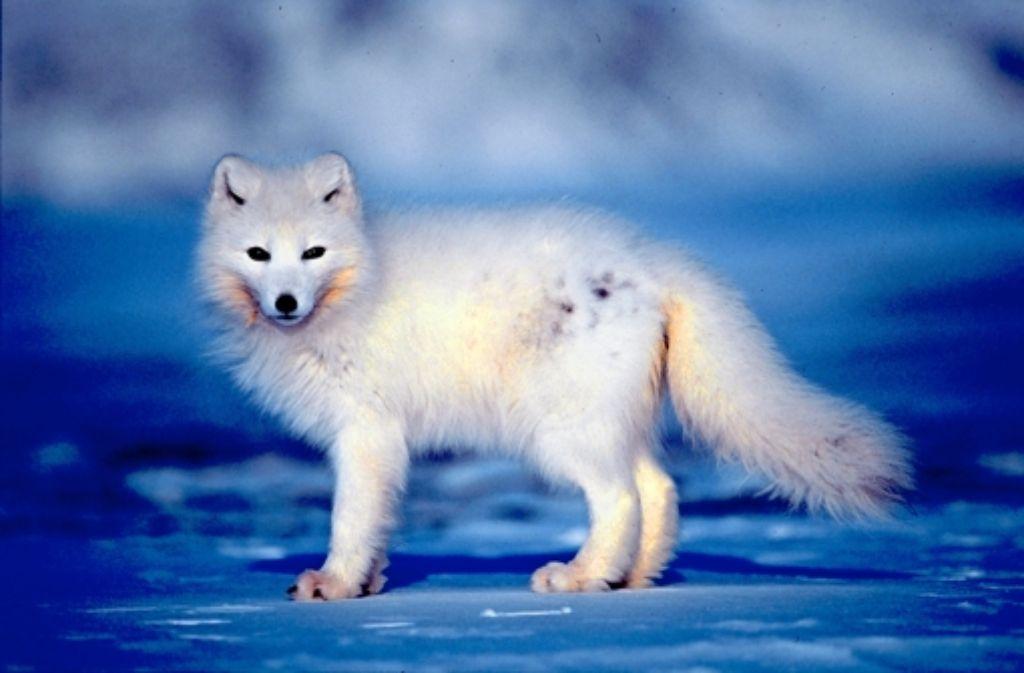 Ein Polarfuchs im Winterfell Foto: Hansen