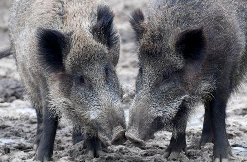 Grün-Schwarz will Schweinepest abwehren