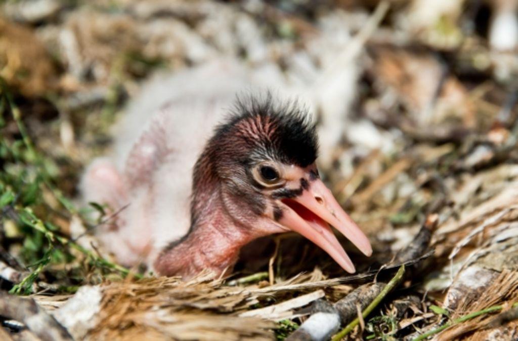 Der Heilige Ibis könnte in Deutschland als Brutvogel heimisch werden. Foto: dpa