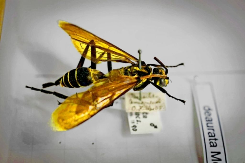 Wespen erforscht  Insektenkundler Lars Krogmann im Museum am Löwentor. Die kleinsten Tiere sind mit bloßem Auge kaum zu unterscheiden. Foto: Michael Steinert
