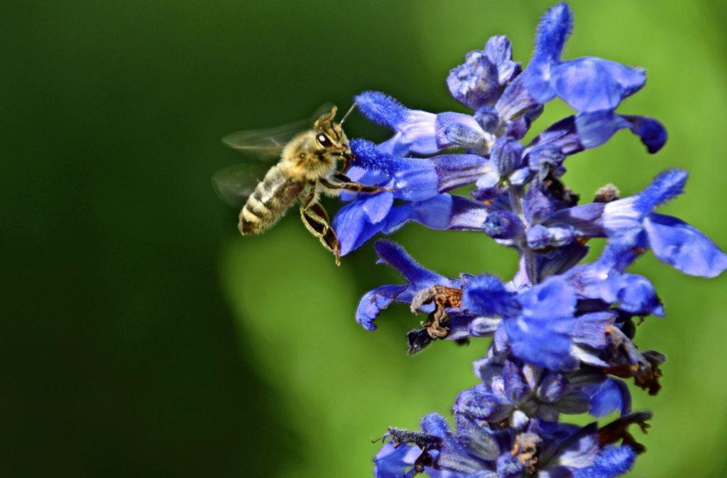 Pflanzen wie Salbei sehen nicht nur hübsch aus, sie sind für viele Bienen eine wichtige Nahrungsquelle. Foto: Sandra Hintermayr