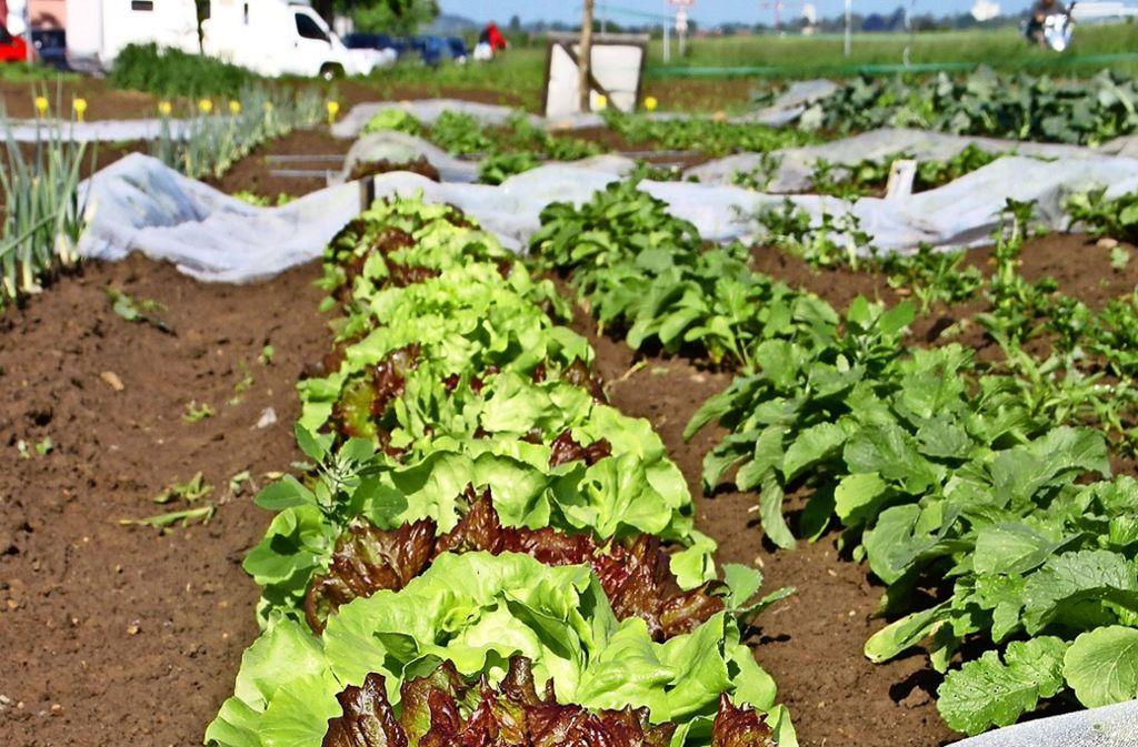 Der Salat gedeiht im Schreibergarten  bereits prächtig. Foto: Leonie Schüler