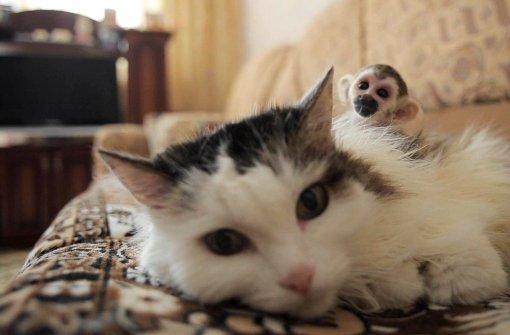 """Katze """"adoptiert"""" Totenkopfäffchen"""