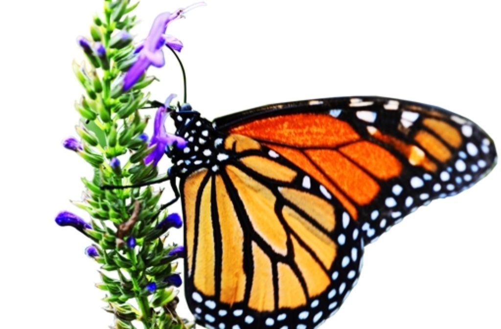Bedroht: der Monarchfalter leidet unter industriellem Landbau. Foto: dpa